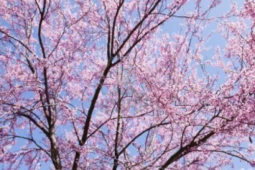 9964825-cerisier-japonais-prunus-serrulata-est-une-espece-de-cerise-a-natif-du-japon-la-coree-et-la-chine.jpg