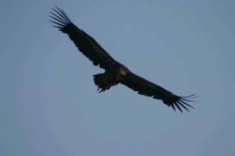 vautour_fauve_vercors_chama.jpg