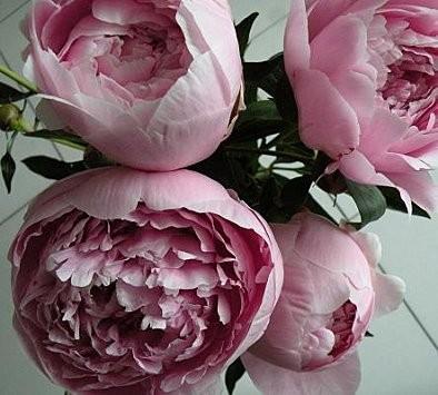 Pivoines-roses.jpg