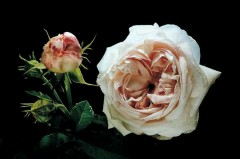 roses-anciennes-302932.jpg